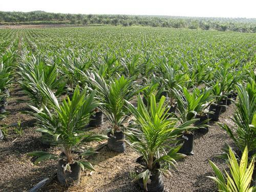 Cameroon wants to reproduce the Malaysian experience, to reach 450,000 tons of palm oil by 2020