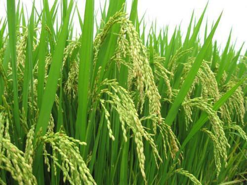 Cameroon: A program to develop rice-farming in the Northern region is being elaborated