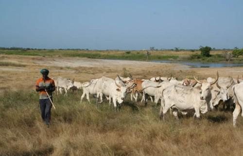 Cameroon: in the north, breeders are selling off cattle to pay ransoms or protect themselves from kidnappers
