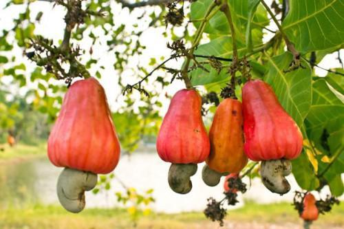 Cameroon will elaborate a plan to improve cashew nuts production