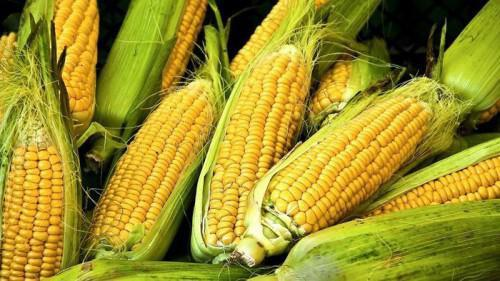 Cameroon: FCfa 3.5 billion investment to produce and process 10,900 tons of maize in Noun