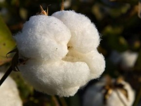 cameroon-currently-testing-gmos-to-increase-cotton-production