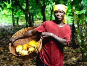 dry-season-raises-cocoa-prices