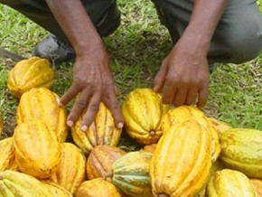 the-average-price-of-one-kilogram-of-cocoa-skirting-fcfa-1600-on-the-cameroonian-market