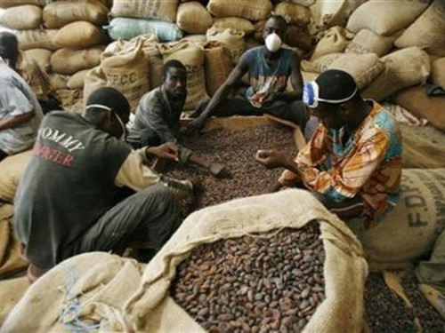 Cameroon Cocoa: CFAF 400 drop on the World Market