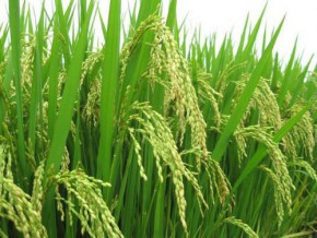 cameroon-a-program-to-develop-rice-farming-in-the-northern-region-is-being-elaborated