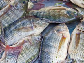 cameroon-cfa1-6-billion-invested-in-a-fish-farming-project-in-the-west