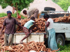 a-cassava-production-agropole-launched-in-atok