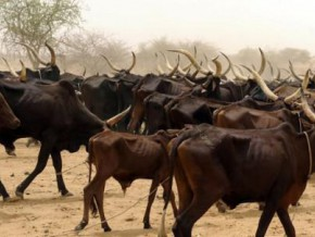 cameroon-estimated-at-fcfa-8-billion-cattle-thefts-represent-15-of-losses-linked-to-the-war-against-boko-haram