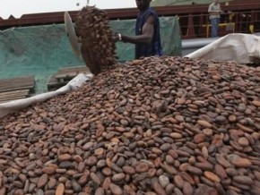 farm-gate-prices-for-cameroonian-cacao-climb-up-again-at-fcfa-1-500-per-kilogram