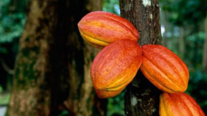 cameroon-s-cocoa-production-taken-over-by-nigeria