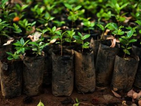 cameroon-4-5-million-cocoa-and-coffee-seedlings-to-be-made-available-to-producers-in-2017