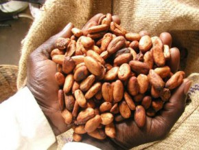 the-cameroonian-cocoa-s-quality-affects-december-contract-on-london-stock-market