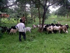 cameroon-call-to-tenders-for-provision-of-7380-small-ruminants-to-develop-livestock-farming-in-the-north-west