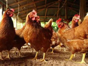 lift-of-the-ban-on-chicken-sale-in-the-western-region-main-production-area-in-cameroon