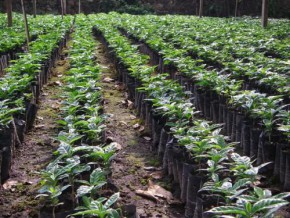 cameroon-towards-the-end-of-deficit-in-coffee-plants