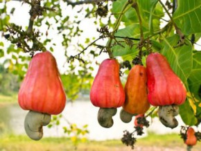 cameroon-will-elaborate-a-plan-to-improve-cashew-nuts-production