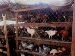 cameroon-ban-on-poultry-transportation-in-western-region-still-effective