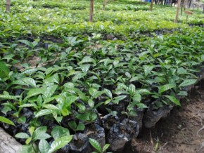 cameroon-targets-100-hectares-of-cocoa-farm-land-with-wcf-support