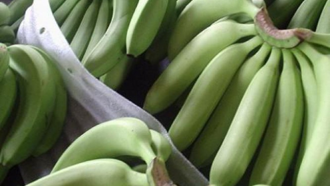 in-2017-php-leader-in-the-cameroonian-banana-market-is-fearing-a-disaster-if-prices-do-not-increase