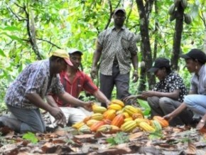 "cameroon-the-cicc's-""new-generation""-programme-creates-1235-acres-of-cocoa-plants"