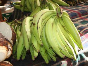 cameroon-1000-hectares-of-plantain-to-be-developed-in-the-north-west