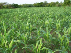 cameroonian-parliamentarians-request-support-of-iita-to-relaunch-agriculture-in-the-north