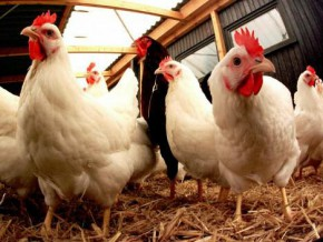 bird-flu-emptying-of-farms-started-in-the-central-region-but-ban-on-chicken-sales-remains