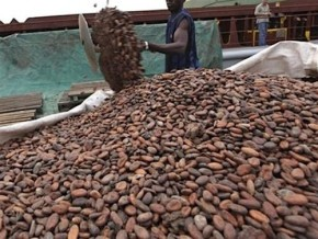 cameroonian-cocoa-farm-gate-price-drops-again-by-at-least-fcfa-125-per-kilogram-within-a-week