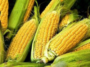 cameroon-fcfa-3-5-billion-investment-to-produce-and-process-10-900-tons-of-maize-in-noun