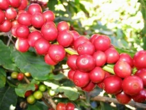 nealiko-enterprises-and-nestlé-cameroon-lead-in-robusta-exports-at-the-start-of-the-season