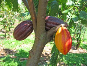 cocoa-farm-prices-rise-at-the-end-of-the-season