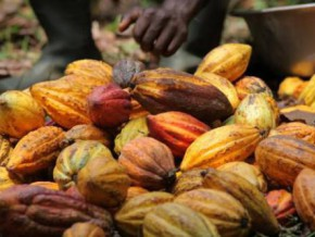 rise-in-local-buying-price-for-cameroonian-cocoa-still-expected