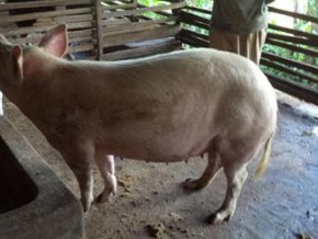 cameroon-panic-on-swine-fever-leads-to-shortage-of-pork-in-adamaoua