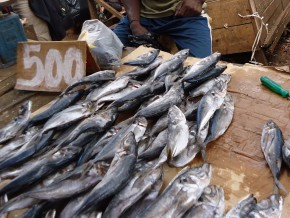 cfaf-530-million-to-double-fish-output-in-adamawa-region