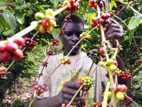 cameroon-wants-to-merge-3-state-structures-in-charge-of-supervising-cocoa-coffee-producers