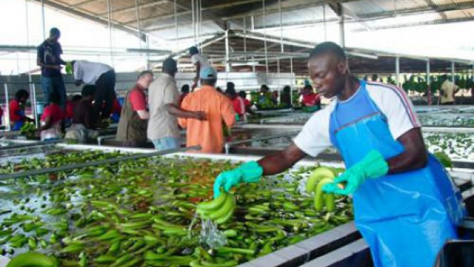 cameroon-at-october-2017-banana-exports-plummeted-more-than-20-600-tons-due-to-bad-weather-conditions