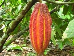 dutch-company-théobroma-to-finance-the-production-of-4000-tonnes-of-cocoa-certified-in-cameroon