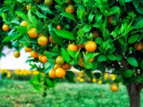 cameroon-a-1785-billion-fcfa-project-to-develop-fruit-tree-cultivation