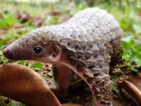 young-trafficker-detained-with-100-kg-of-pangolin-scales-in-region-of-east-cameroon