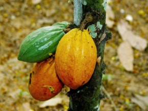 cicc-announces-the-holding-of-the-2015-international-cameroonian-cocoa-festival-from-december-3-to-5