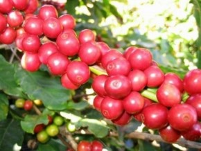 cameroun-exported-barely-9000-tonnes-of-robusta-and-arabica-coffee-since-the-end-of-may-2014