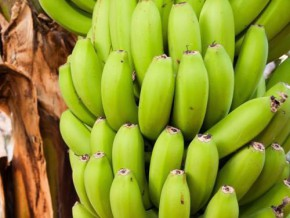 boh-plantations-the-minnow-in-the-banana-market-in-cameroon-boosts-national-exports-at-end-may-2017