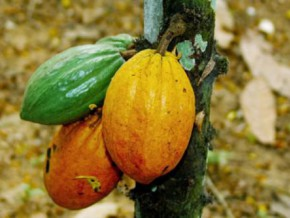 cameroon-wants-to-reduce-cocoa-export-charge-by-50-in-order-not-to-discourage-operators-in-sector