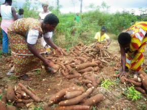 cassava-seedlings-in-store-for-sotramas-in-cameroon