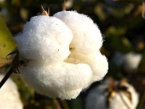 cameroon-sodecoton-targets-production-of-248-150-tons-of-cotton-for-2016-2017-crop-season