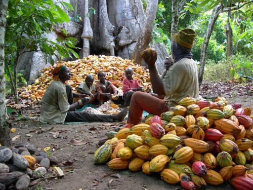 Close to 1,000 hectares of cocoa trees to be planted in ...
