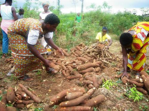 Cassava seedlings in store for Sotramas in Cameroon
