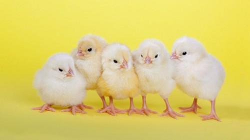 Cameroon: 900,000 one-day chicks to boost poultry farming in
