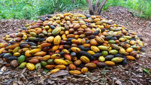 Cameroon's cocoa exports drop by 10% due to the anglophone crisis